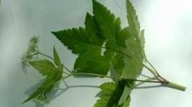 Darul pentru Iisus: planta din Biblie care face MINUNI pentru sănătate