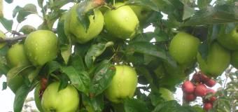 Zeci de tone de mere exportate într-o lună