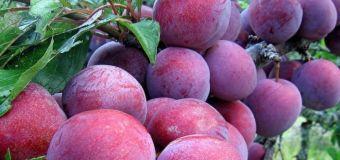 Exporturile de struguri şi prune din Republica Moldova în România au crescut semnificativ