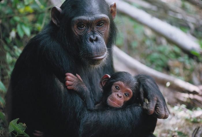 Judecătorii au hotărât care este statutul cimpanzeilor în raport cu oamenii