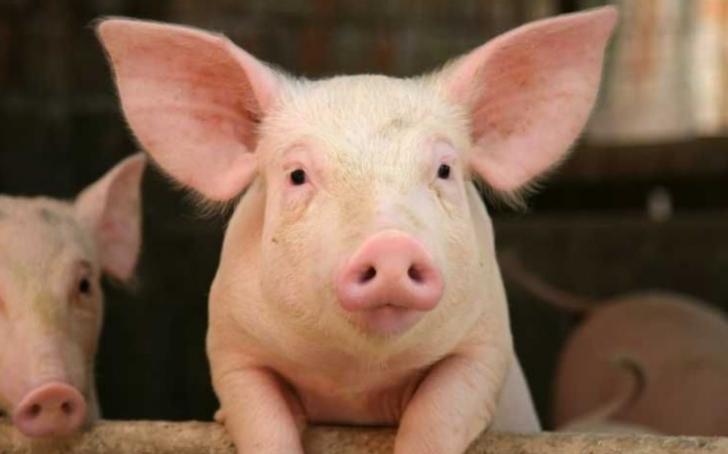 Vrei să sacrifici porcul de revelion? Atunci trebuie să ştii asta