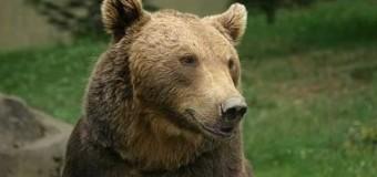 Ursul, prevestitorul meteo. Cât de repede vine primăvara în acest an