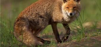 Statistică înfricoșătoare: Numărul de animale bolnave de rabie este în creștere