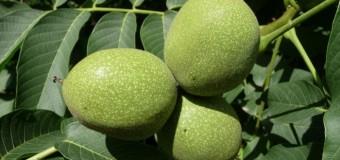 5 curiozități despre frunzele și fructele de nuci