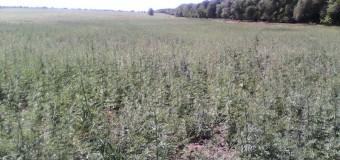 Peste două hectare de cânepă, depistate la Taraclia