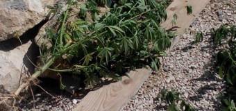 600 litri de alcool etilic și 10 plante de cânepă, depistate în gospodăria unui bărbat din Orhei
