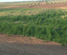 Peste 6 000 de fire de cânepă, depistate într-o localitate din raionul Cahul