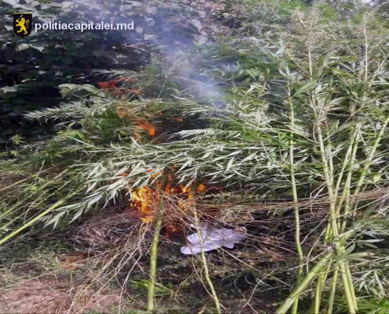 Operaţiunea  MAC-2017 continuă să dea roade. Peste 1520 de plante de cânepă au fost nimicite în comuna Bbuieci