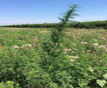 Poliția Capitalei despre cazurile de cultivare a plantelor cu conţinut narcotic, în 2018