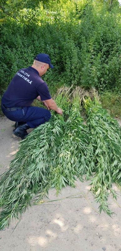Polițiștii de frontieră au descoperit un lan de plante de cânepă. Acțiunile întreprinse!