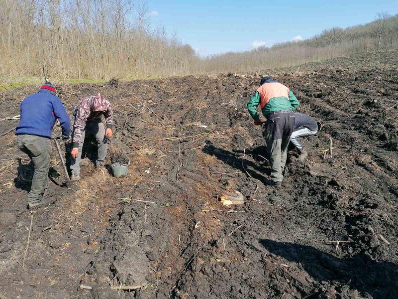 """Detalii despre campania de plantare de la Întreprinderea pentru Silvicultură """"Hîncești-Silva"""""""