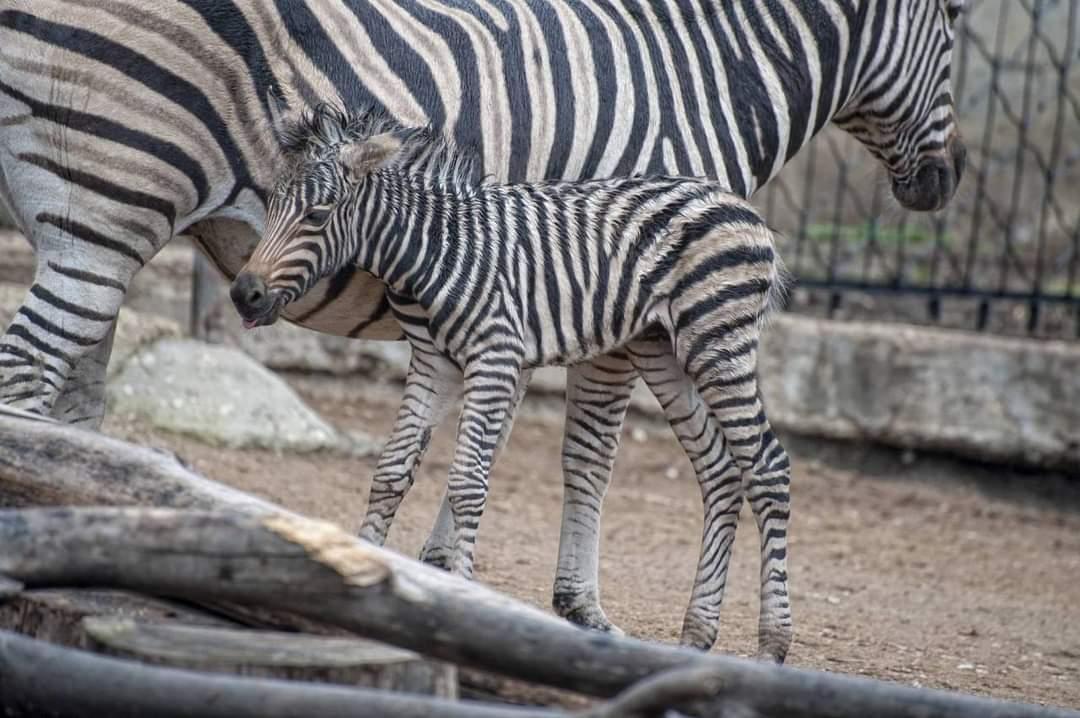 La Grădina Zoologică din capitală s-a născut un pui de zebră