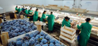 Prunele din Găgăuzia – exportate în premieră în UE